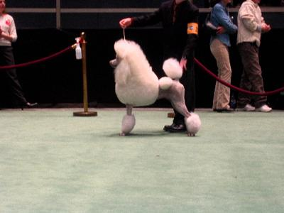 perfect_poodle.jpg